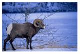 big horn sheep #1