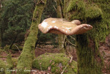 Birch polybore