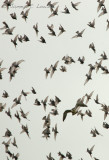 Starlings with Peregrine