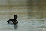 Hybrid tufted duck x ring-necked duck