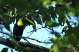Chesnut-mandibled toucan