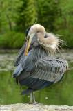 Grand héron / Great Blue Heron