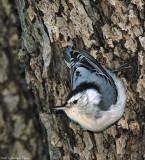 Sittelle à poitrine blanche / White-breasted Nuthatch