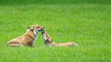 Couple de renards roux / Pair of Red Foxes