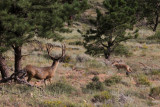 Close encounter: Elk vs coyote