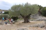 IMG_4025.jpg ancient olive tree
