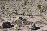IMG_1756a.JPG Desert wildflowers