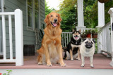 3 dogs on porch, Jake, Token and Cowface