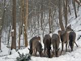 Nine Backyard Deer ~ Jan, 2008