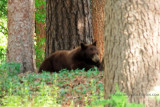 2011 - Black bear sow watching her two cubs in a residential neighborhood not far from the Broadmoor Hotel golf course