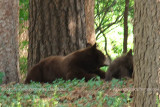 2011 - Black bear sow playing with her cubs in a residential neighborhood not far from the Broadmoor Hotel Golf Course