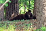 2011 - Black bear sow and her cubs in a residential neighborhood not far from the Broadmoor Hotel Golf Course