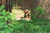 2011 - Black bear cub in a residential neighborhood not far from the Broadmoor Hotel Golf Course