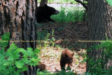 2011 - Black bear sow and her cub in a residential neighborhood not far from the Broadmoor Hotel Golf Course