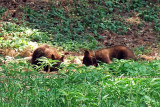2011 - Black bear cubs in a residential neighborhood not far from the Broadmoor Hotel Golf Course