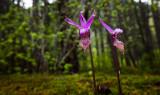 Calypso Orchids  (IMG-052811-56-2.jpg)