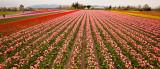 Tulips_041712_094-2.jpg