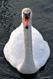 Mute Swan (head on)