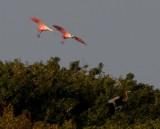 Roseta Spoonbill Cranes