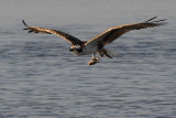 Osprey with a partial fish