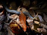 A curious Garter Snake