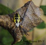 Black and Yellow Garden Spider, Argiope aurantia