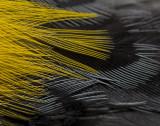 Yellow Rump Warbler detail