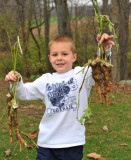 Camden Helping to Harvest Horseradish