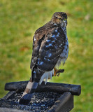 King of the Bird Feeder