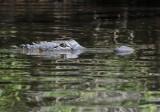 Up close to an alligator!