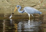 Tri Colored Heron with catch
