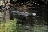 Alligator checking out Brenda