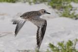 Sandpiper takes flight