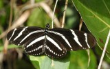 Zebra Widewing