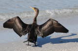 Cormorant sunning itself on a beautiful New Years Day in Ft. Myers Beach, Florida