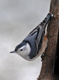 White Breasted Nuthatch on a cold, snowy day in Ohio