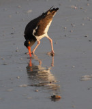 American Oystercatcher hunting for food