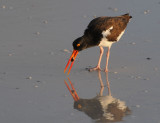 American Oystercatcher with a small clam