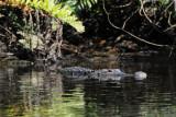 11' Aligator on the Orange River