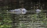 Close-up of Aligator