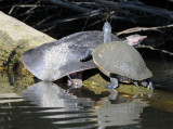Large Softshell Turtle and painted turtle