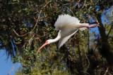 Ibis taking flight