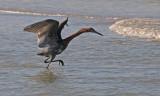 Reddish Egret scaring fish?