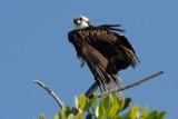 Osprey on a high branch