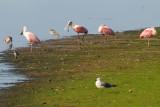 Roseate Spoonbills on Sanibel Island (J. N. Ding Darling National Wildlife Refuge)