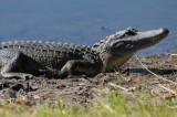 8' aligator along the road
