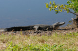 Sunning Aligator
