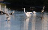 Mixed Birds (Tricolored Heron, White Egret, Ibis, Great Blue Heron)