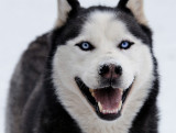 Perfect Weather for a Siberian Husky