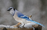 Blue Jay curious about the flash units